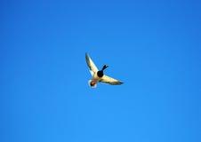 Canard de colvert de vol photos stock