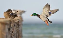 Canard de colvert en vol Images libres de droits