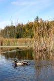Canard de colvert pendant l'automne image libre de droits