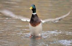 Canard de colvert sur le lac Image stock