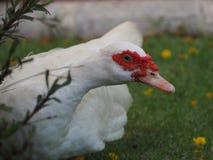 Canard de curiosités Image stock