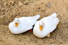 Canard de deux blancs se reposant à côté d'un étang ou d'un lac Photo stock