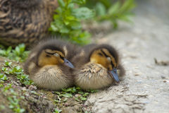 Canard de deux chiots tout en dormant Photographie stock libre de droits