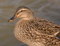 Canard de faune Photos stock