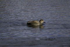 Canard de Femal Images libres de droits