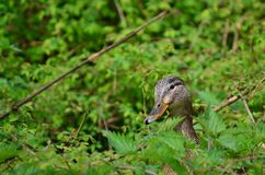 Canard de femelle d'élevage Photographie stock