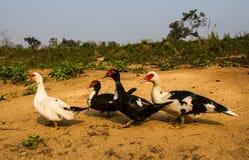 Canard de ferme photographie stock libre de droits
