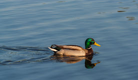 Canard de flottement Image stock