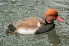 Canard de fulugule milouin sur l'eau Photographie stock
