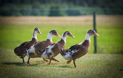 Canard de gosses Photo stock