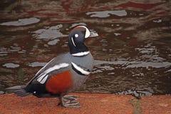 Canard de harlequin sur le remblai de granit près de l'eau photo libre de droits