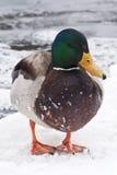 Canard de l'hiver Photo libre de droits