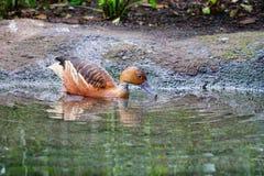 Canard de la Floride Photos stock