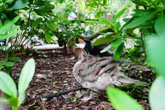 Canard de la Floride Photo libre de droits