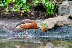 Canard de la Floride Photographie stock