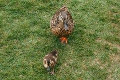 Canard de mère Photos stock