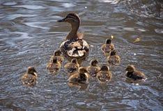 Canard de mère avec 10 canetons Images stock