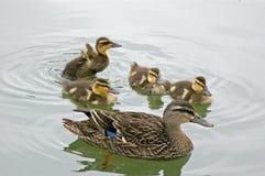Canard de mère avec des canetons Images libres de droits