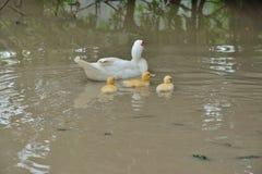 Canard de mère avec le bébé Photos libres de droits