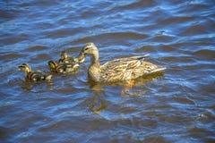 Canard de mère avec leurs canetons Image libre de droits