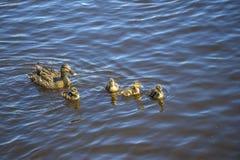 Canard de mère avec leurs canetons Image stock
