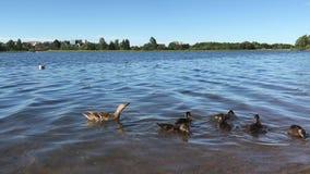 Canard de mère avec de petits jolis canards clips vidéos