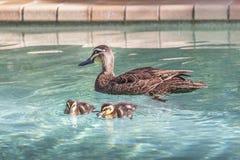 Canard de mère barbotant dans une piscine Images libres de droits