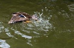 Canard de Mallard éclaboussant dans un étang images libres de droits