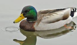 Canard de Mallard dans l'eau Images stock