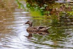Canard de Mallard dans un étang Images libres de droits