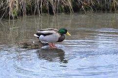 Canard de Mallard entrant dans l'oiseau d'eau photo libre de droits