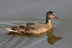 Canard de Mallard (poule) Photographie stock