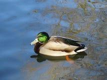 Canard de Mallard sur l'étang Photos stock