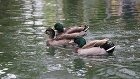 Canard de Mallard sur l'eau Image stock