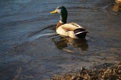 Canard de Mallard sur l'eau Image libre de droits