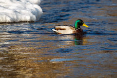 Canard de Mallard sur l'eau photo libre de droits