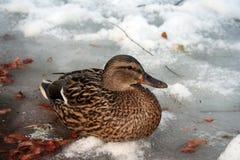 Canard de Mallard sur un étang congelé photos libres de droits