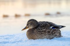 Canard de Mallard sur une berge neigeuse image stock