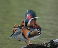 Canard de mandarine Images libres de droits