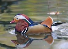 Canard de mandarine Photo libre de droits