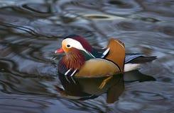 Canard de mandarine Photos libres de droits