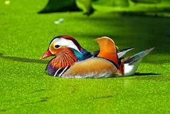 Canard de mandarine Image libre de droits