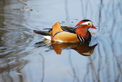Canard de mandarine Photo stock