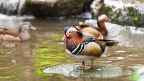 Canard de mandarine photo stock