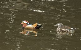Canard de mandarine avec la femelle photos libres de droits