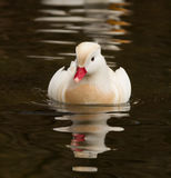 Canard de mandarine blanc images stock