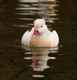 Canard de mandarine blanc photos libres de droits