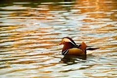 Canard de mandarine coloré Photographie stock libre de droits