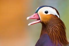 Canard de mandarine coloré photographie stock