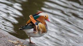 Canard de mandarine coloré Image libre de droits